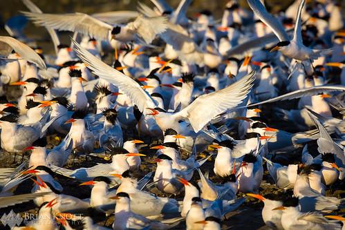birds bird tern terns eleganttern elegantterns flock cotillion flying flight wings mating sunset sunrise island ternisland bolsachica wetlands reserve huntingtonbeach beach shore coast coastal shorebird