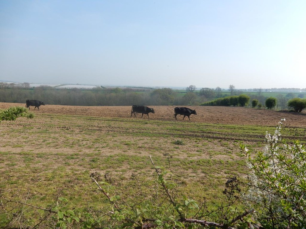 Cows in a field Bekesbourne to Sturry