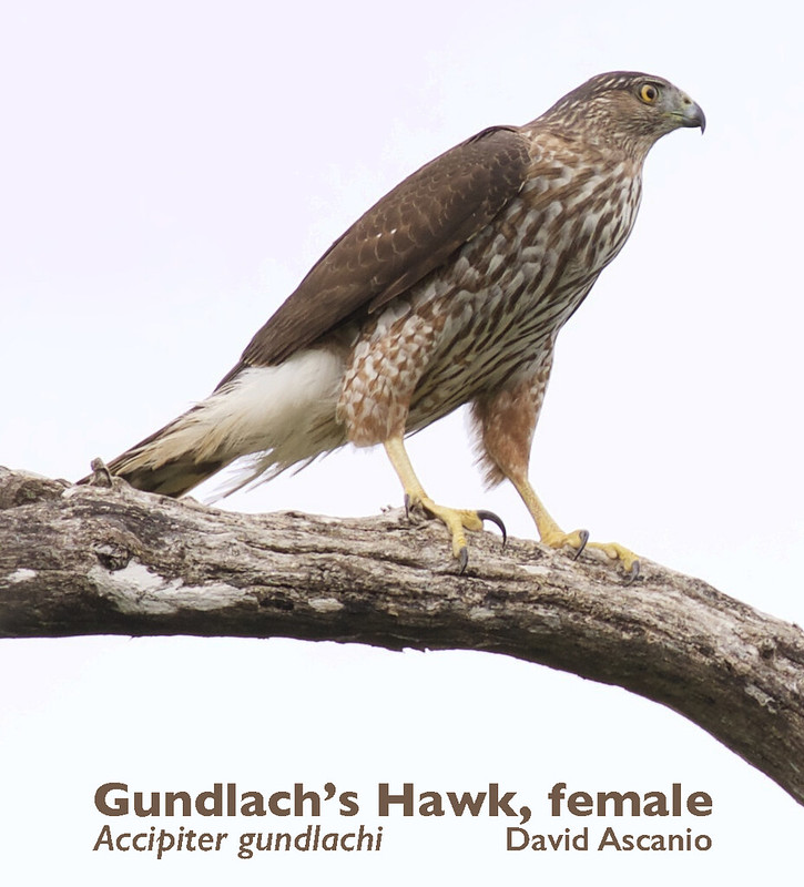 Gundlach's Hawk, Accipiter gundlachi_199A3703