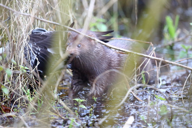 Mink with Duck