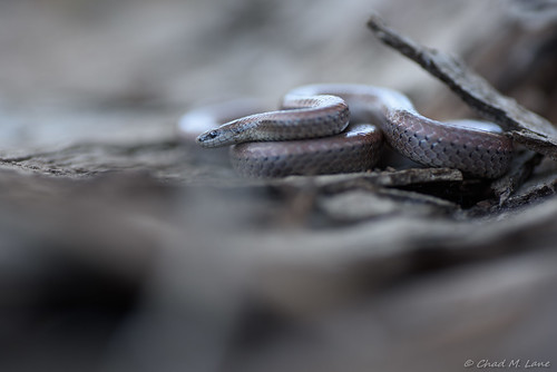 Forest Sharp-tailed Snake (Contia longicaudae) | by Chad M. Lane