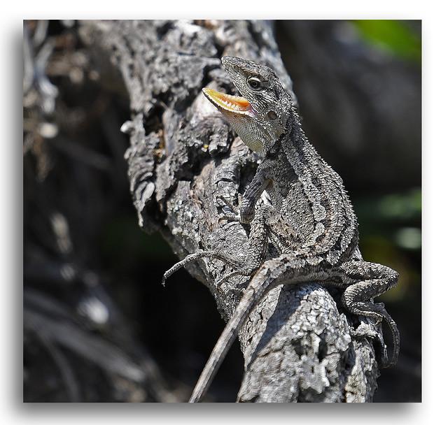Jacky Lizard New South Wales South Coast Australia