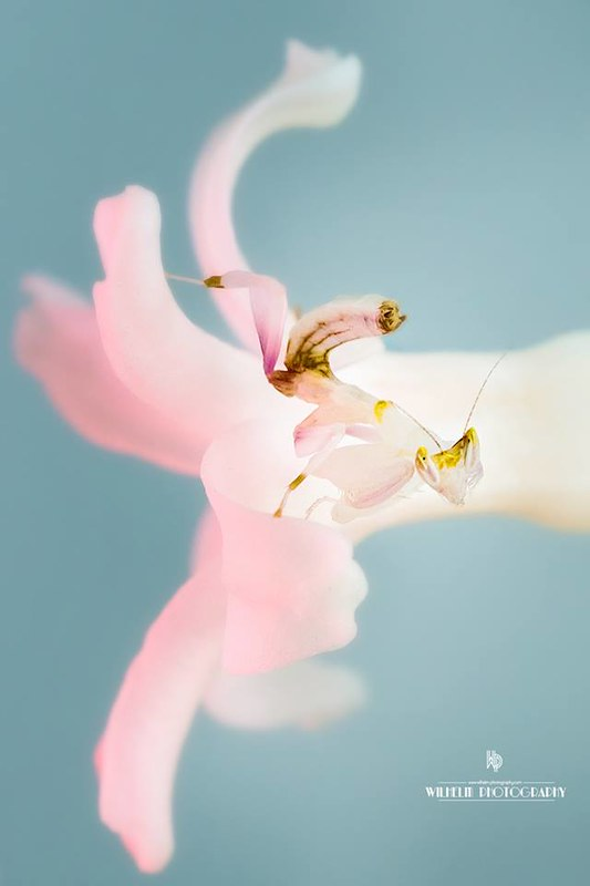Orchid Mantis by Tonya Wilhelm