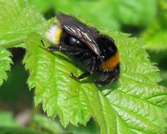Vestel Cuckoo Bee - Bombus vestalis