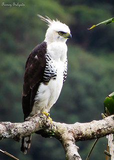 Spizaetus ornatus- Ornate Hawk-Eagle | by CORAVES COLOMBIA PHOTOEXPEDITIONS