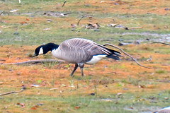 Cackling Goose, Yellow Creek State Park, 11/6/2014