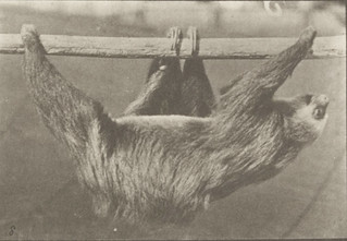 Sloth walking suspended on a horizontal pole (rbm-QP301M8-1887-750a~8) | by Fæ
