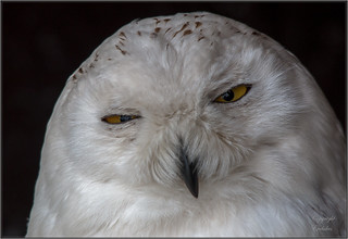 snowowl close up | by Evelakes67