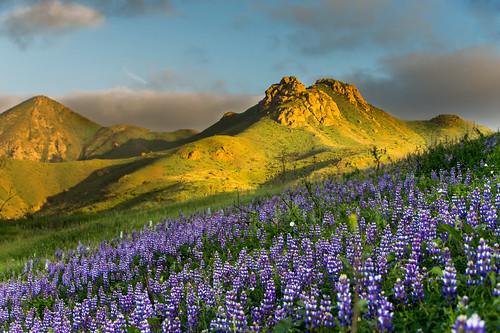 california santa sunset mountains open space monica wildflowers hillside camarillo lupine nikond4