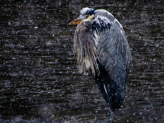 Great Blue Heron | by john m flores