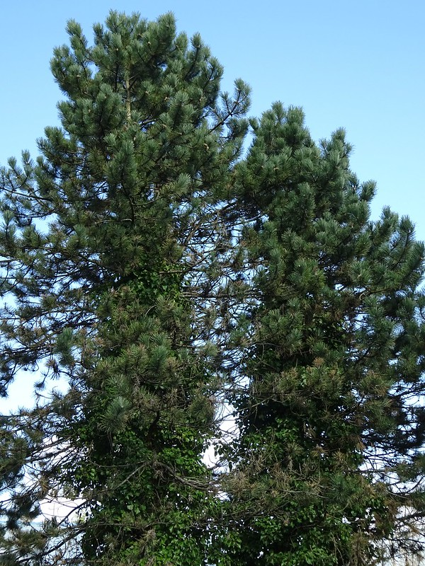 Invaded Pine