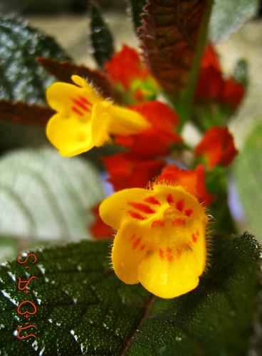 flowers plant blooms copperleaf sunsetbells blackflamingo blossom macro shrub chrysothemispulchella flores flora fleur flower garden nature natur naturaleza canon powershota480 dof depthoffield