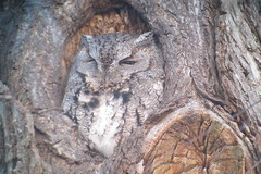 Eastern Screech-Owl, LaSalle Park, Burlington, ON