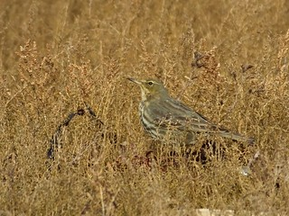 Rock Pipit - Anthus petrosus | by david cawthraw