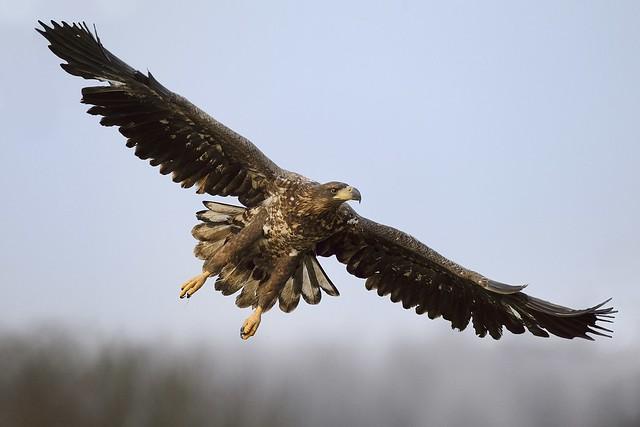 The Sea Eagles of Gostynin - Poland