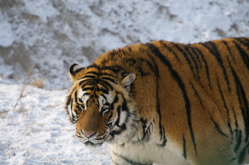 tiger looking | by Zervas
