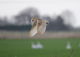 Barn Owl | by markhows