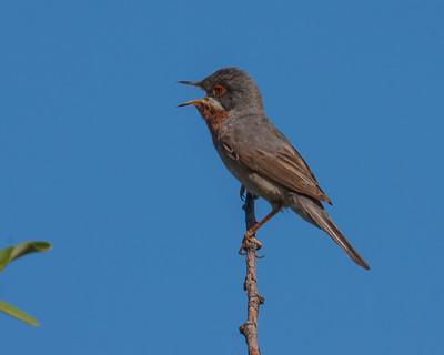 Warbler subalpine warbler Sylvia cantillans Kavaki Lesvos 14/05/10