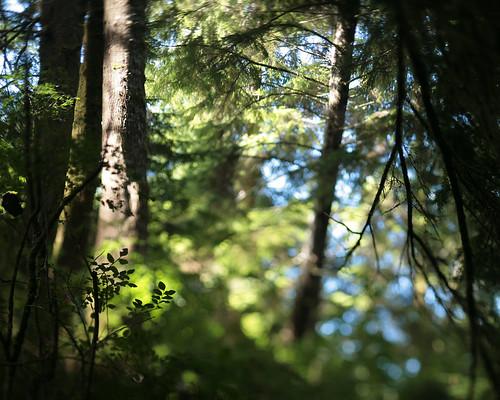 summer blur tree oregon forest leaf bokeh blueberry tilt hemlock oldgrowth westernhemlock huckleberry beverlybeach beverlybeachstatepark