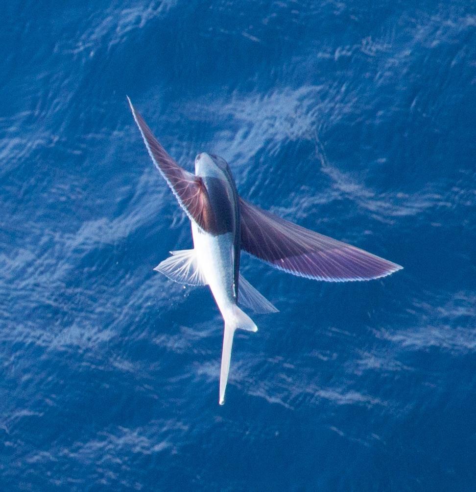 фото летающий рыбы поделитесь своей историей