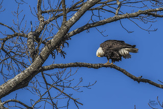 Berry Bald Eagle Male 4 | by Jason Blalock