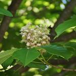 トチノキの花 Aesculus turbinata-1