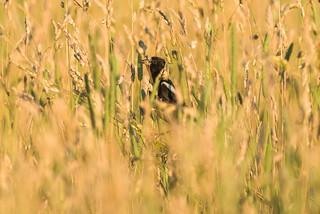 Goglu des prés qui joue à la cache-cache / Bobolink who plays a game of hide-and-seek [Dolichonyx oryzivorus] | by Curculion