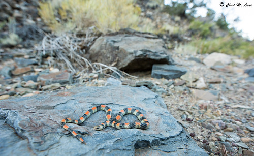 Variable Ground Snake (Sonora semiannulata) | by Chad M. Lane