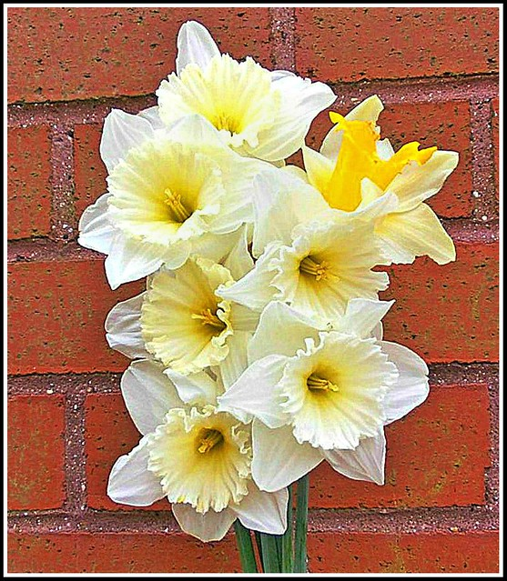 Narcissus .