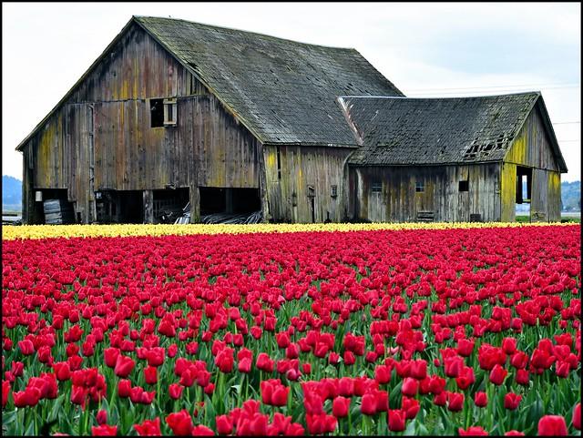 Tulips, Skagit Valley 3