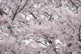 Sakura | by iimo