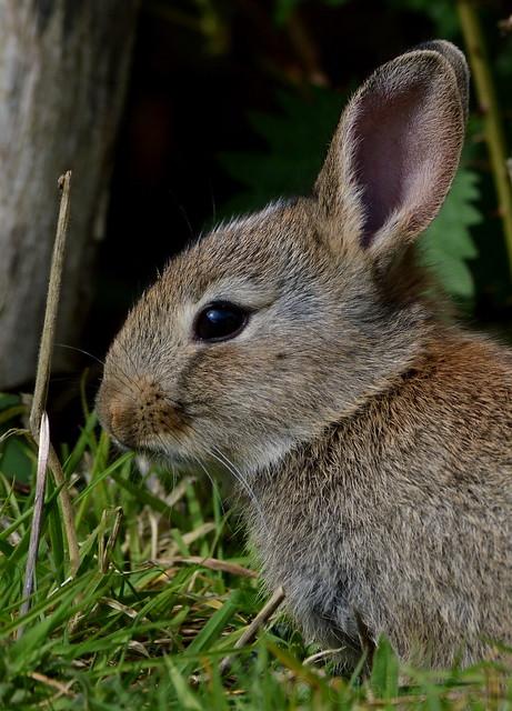 Rabbit (Lepus curpaeums)