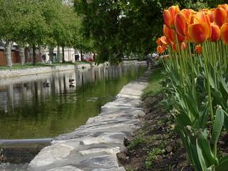 Rivière la Morges - Tulipes - Morges