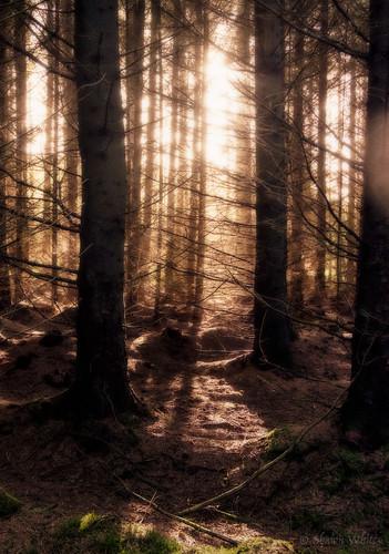 fujifilmxt10 shawnwhite colours conifer coniferous dream enchanting gold lightsource magic magical mood mystery mystic tree trees wood woodland woods trefenter wales unitedkingdom gb