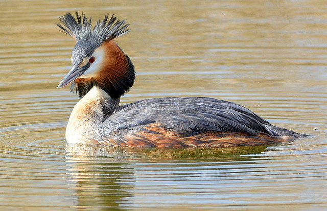 DSC_4350 Great Crested Grebe