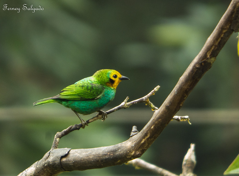 Tanagers of Colombia