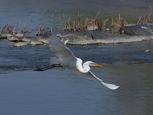 Grande aigrette --- Great Egret