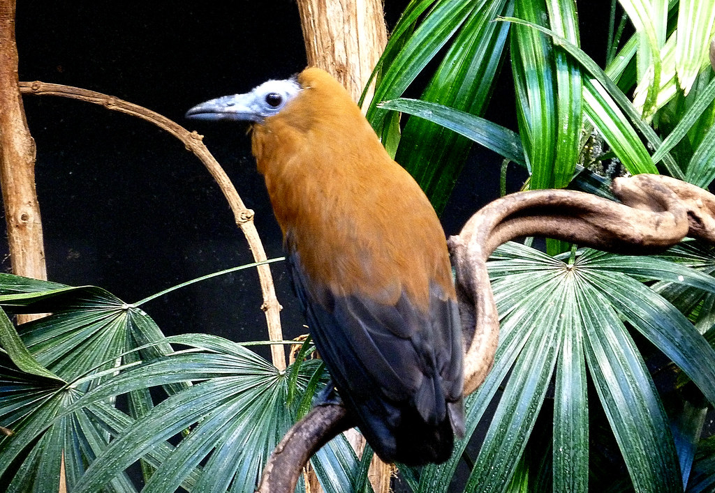 Coracine chauve Perissocephalus tricolor - Capuchinbird