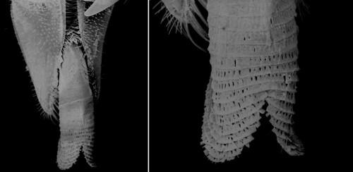 Pseudofonus  houstoni (Jennings & Austin 1994) glossa (3)