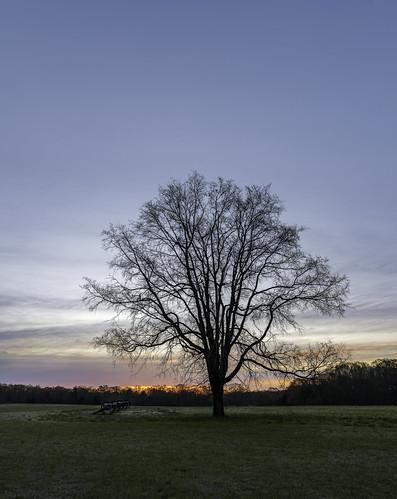 The Willard Tree