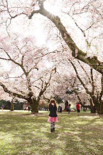20180406 uw cherry blossoms21 | by schnell foto