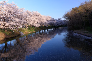 Cherry Blossoms | by t.kunikuni