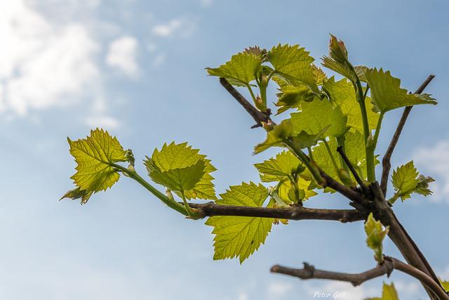 Weintraubenblätter
