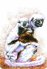 Postcards for the Lunch Bag - Cockeral's Sifaka Lemur