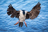 Cormorant Approach by jeff_a_goldberg