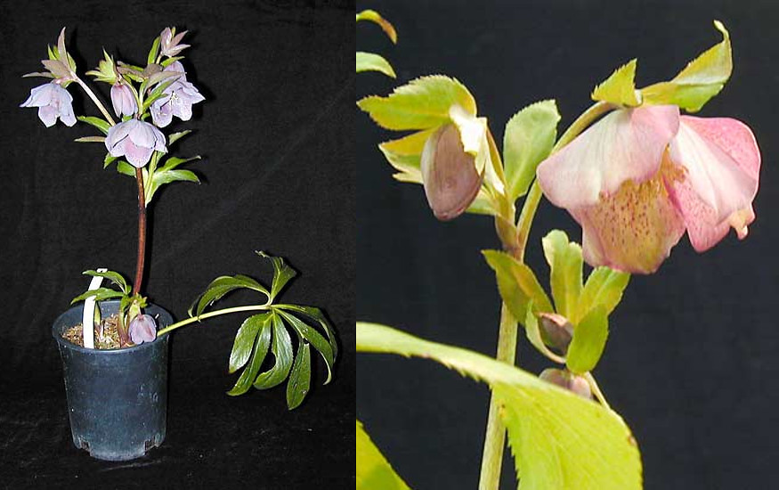 Helleborus orientalis hybrids