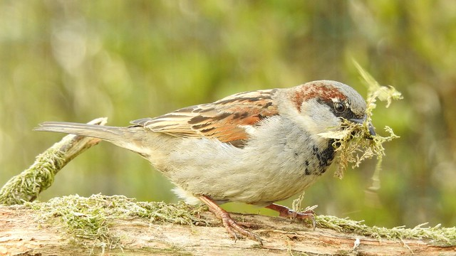 House Sparrow ♂ (Passer domesticus)
