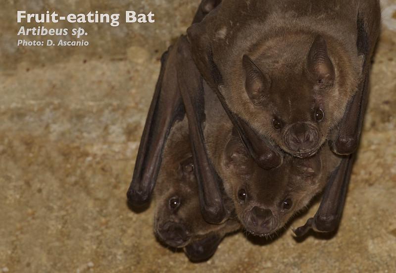 Fruit-eating Bat, Artibeus sp._199A0679
