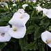 Doud Creek Calla Lilies