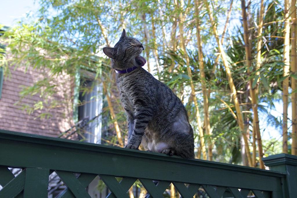 Hemingway Cats @ Hemingway House